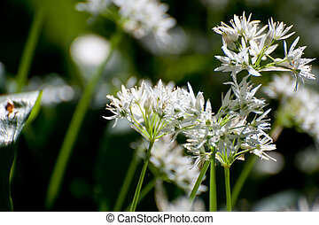 Wild Garlic - Closeup Of Blooming Wild Garlic Flowers