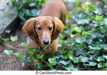 Dachshund Puppy - Long hair dachshund puppy standing in ivy.