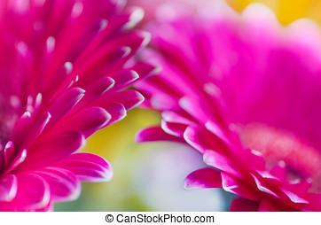 Pink gerberas daisies Closeup