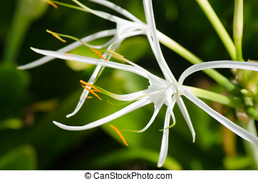 White spider lily flower Hymenocallis caribaea