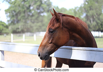 Chestnut Gelding - Side view of chestnut gelding.