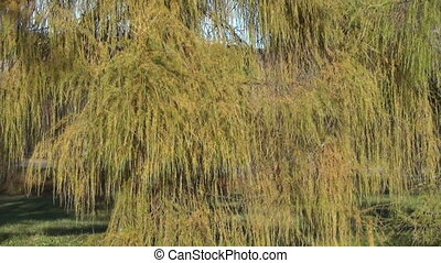 larch green branch tree - beautiful wide green branches of...