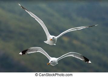 Seagulls flying couple