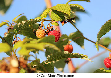 Raspberries in a garden - Some ripening raspberries on the...