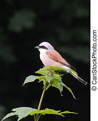 shrike bird sitting on the tree