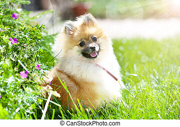 Adorable little pomeranian puppy in green grass