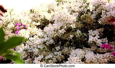 Thai White and pink Bougainvilleas flowers. Video shift...