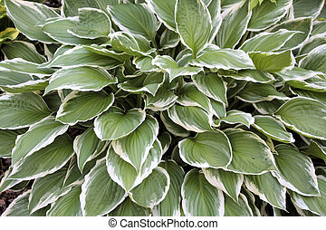 Hosta - Perennial plant, Hosta, the leaves are green with...