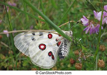 Apollo or Mountain Apollo (Parnassius apollo) butterfly...