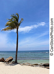 Haitian Palm Tree - A palm tree on the beach in Labadee,...