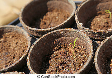 Jalapeno Pepper Seedling - Jalapeno pepper seedlings growing...