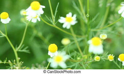 camomile chamomile flowers wildflowers on green meadow....