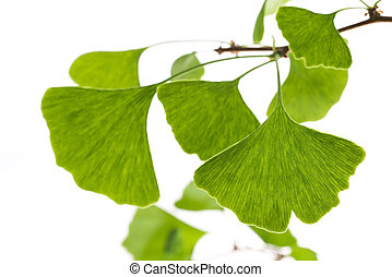 Ginkgo biloba leaf isolated on white