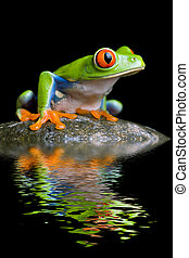 frog on a rock with water reflection - red-eyed tree frog on...