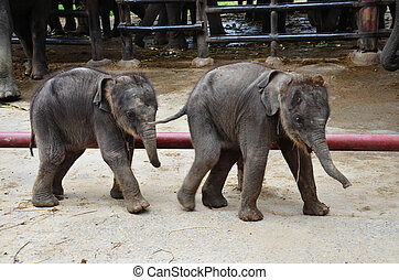 Thai Baby Elephant - The Thai Elephant --Symbol of Nation...