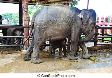 Thai Elephant - The Thai Elephant --Symbol of Nation...