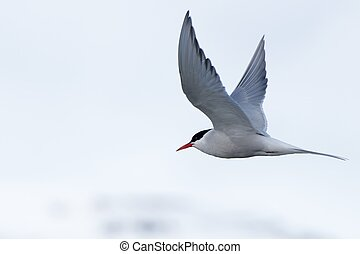 Arctic tern with outspread wings over iceberg