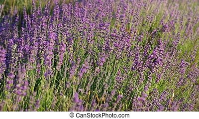 Meadow of lavender Nature composition