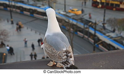 Seagull looking at tram and tourists - Rear view of seagull...