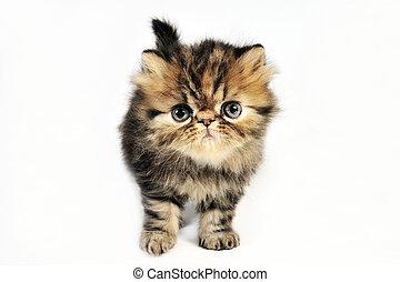 子ネコ, イラン人