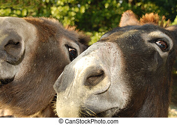donkey friends - close up of two donkeys side by side