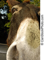 donkey nose - extreme angle of a donkeys nose and face