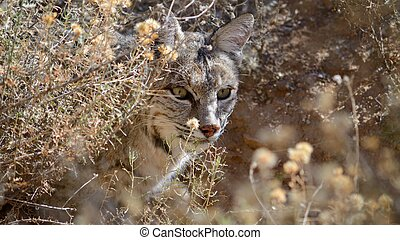 Bobcat In Hiding - Bobcat looking around brush