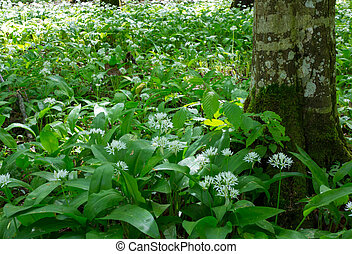 Flowering ramsons in springtime - Flowering ramsons in...