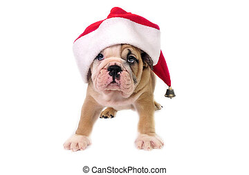 Christmas puppy - Cute English bulldog puppy wearing a santa...