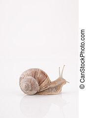 Roman snail Helix pomatia