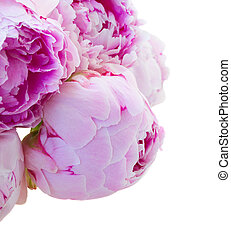 pink peonies buds - buds of pink peonies close up isolated...