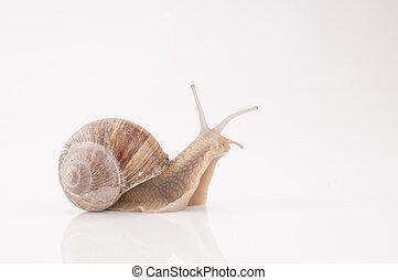 Roman snail [Helix pomatia]