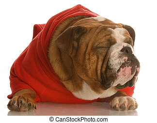 ugly dog - english bulldog in red sweater with ugly face and...