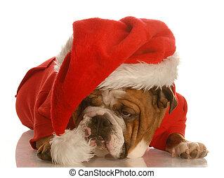 dog dressed up like santa - english bulldog dressed up like...
