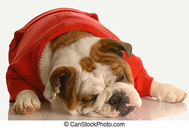 tired dog - english bulldog in red sweater stretched out...