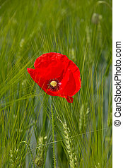 Wheat field - Poppy on the wheat field