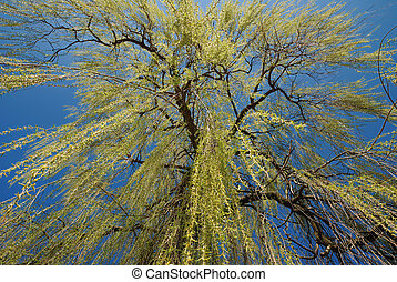 Weeping Willow - A weeping willow in spring