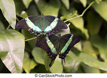 Emerald Swallowtail; Emerald Peacock; or Green-banded...