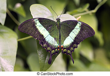 Emerald Swallowtail, Emerald Peacock, or Green-banded...