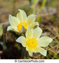 Forest primroses in Siberia, Alpine anemone