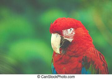 顔,  Macaw, 赤