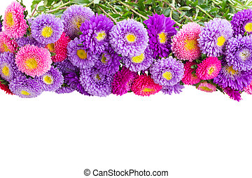 aster flowers - pink and violet aster flowers border...