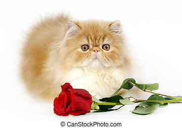 Persian kitten with rose - Sweet Persian kitten with a red...