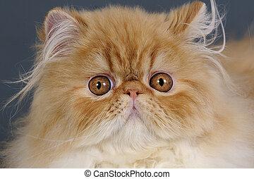 Persian cat. - Head shot of cute young Persian cat.
