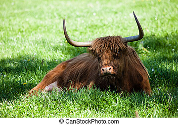 Scottish highland cow over green grass
