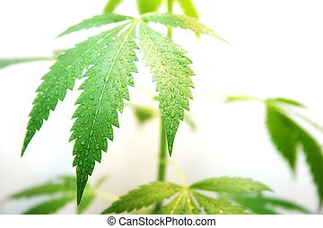 Dewy Leaf Of Marijuana - Dewy leaf of marijuana plant on the...