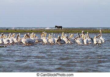 pelicans in shallow water - Flock great pelicans ( pelecanus...