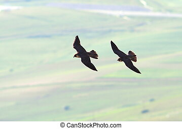 two peregrine falcons flying together - two peregrine...