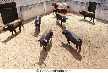 Fighting bulls on the courtyard before begining the show....