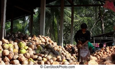 THAILAND, KOH SAMUI, APRIL 7, 2013: Farmer cutting coconuts shell on coconut farm.